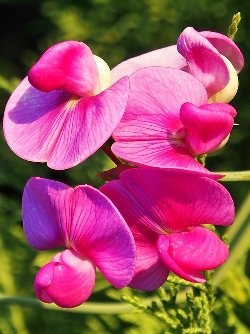 vetches  pink  climber plant