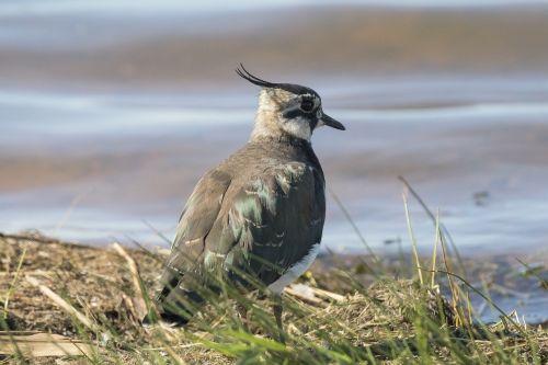 vibe bird wader