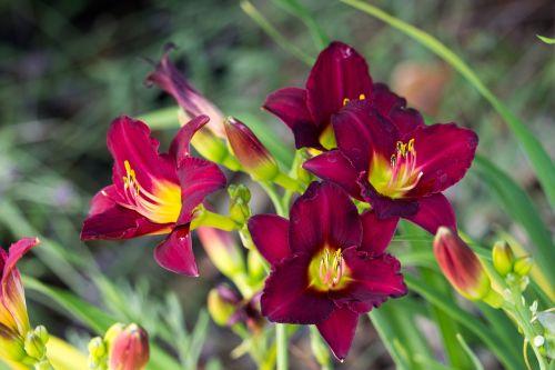vibrant red flowers garden summer