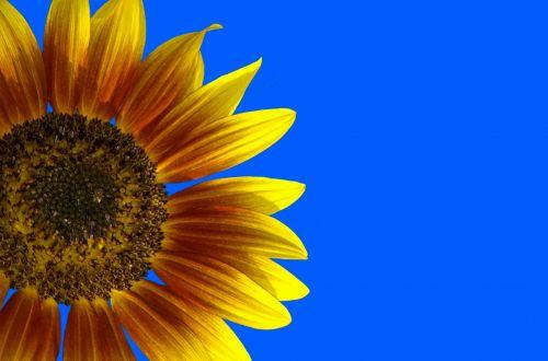 Vibrant Sun Flower