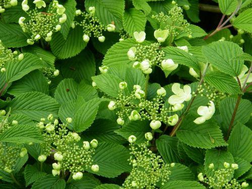 viburnum plant flowering