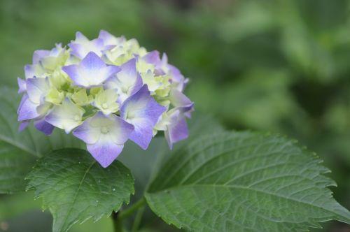 viburnum natural plant