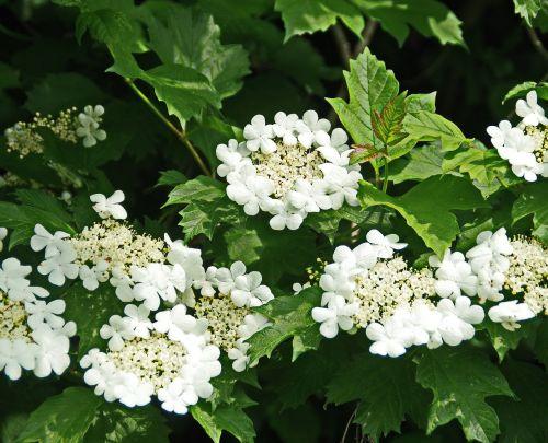 viburnum white flowers spring