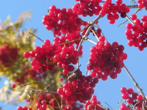 viburnum berry autumn
