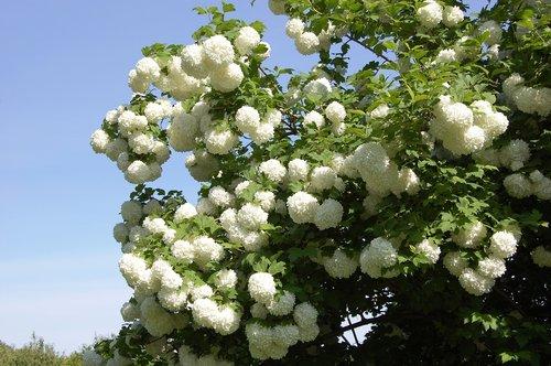 viburnum  white balls