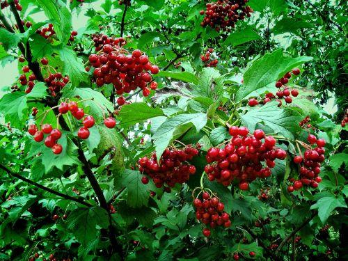 viburnum red ukraine