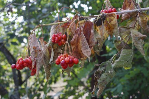 viburnum berry red