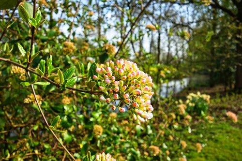 viburnum anne russel  viburnum  flower