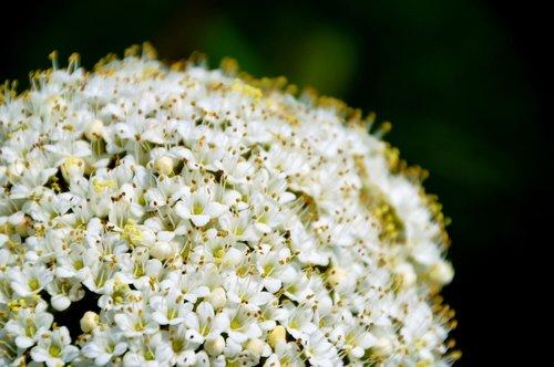 viburnum lantana  high bush mancienne  cochène