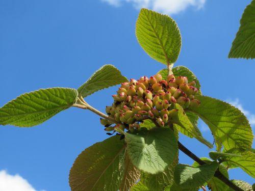 viburnum lantana wayfarer wayfaring tree