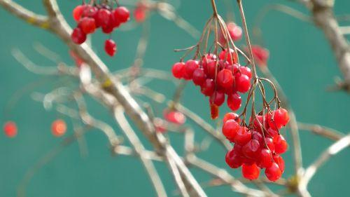 viburnum opulus berry red aesthetic