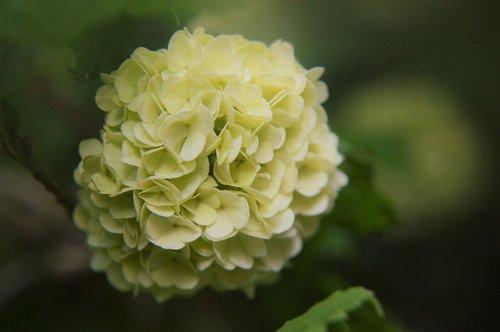 viburnum plicatum  japanese snowball viburnum  flower