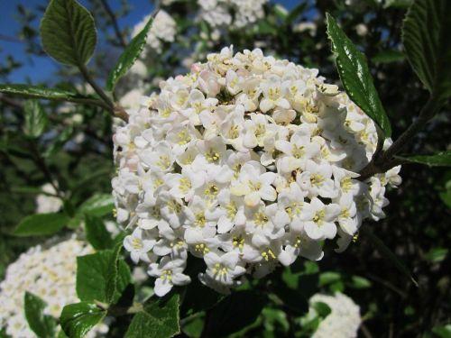 viburnum utile service viburnum shrub