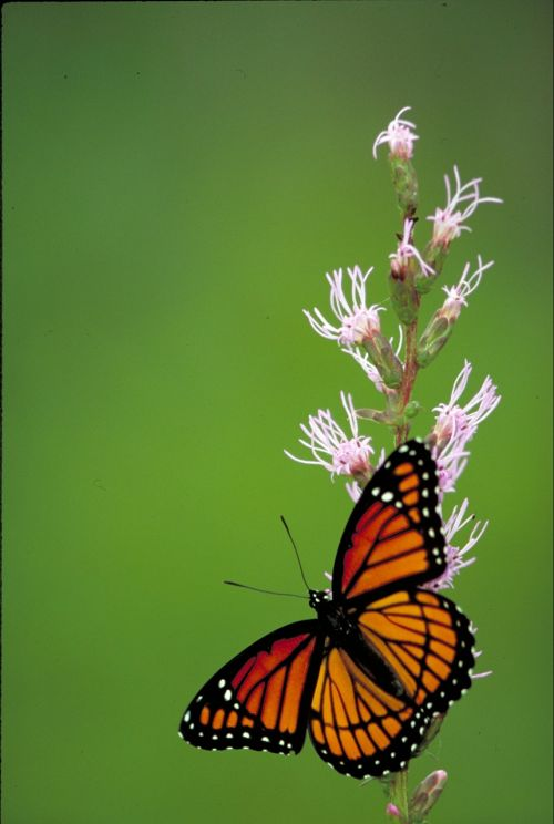 viceroy butterfly insect butterfly
