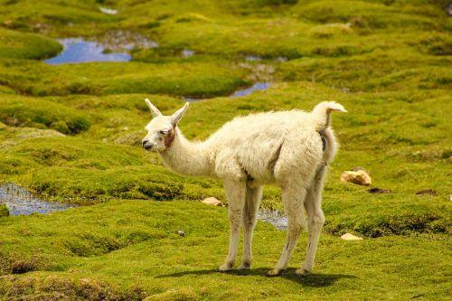 vicuña animal andean animals