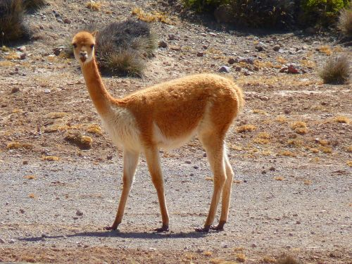 vicuña lama paarhufer