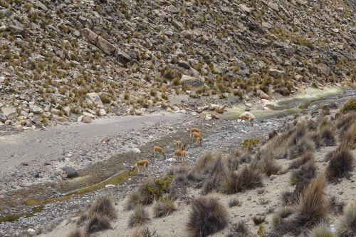 vicuñas andes peru