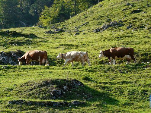 viehscheid cows almabtrieb