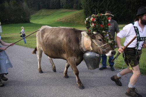 viehscheid allgäu cow