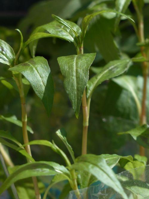 viet nam coriander plant kitchen herb
