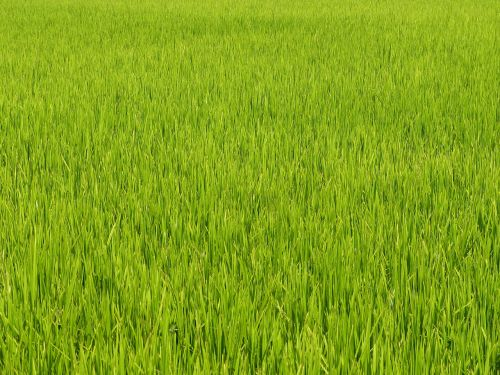 vietnam asia rice