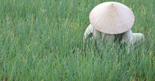 vietnam hoian rice fields