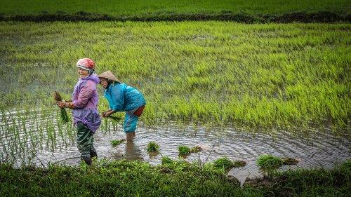 vietnam  women  paddy