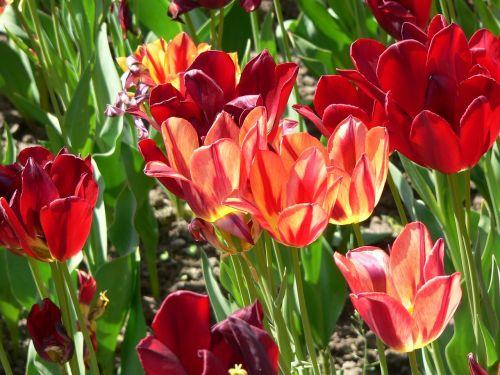 villa taranto,gėlės,raudona,raudona gėlė,ryškiai raudona,gamta,žydėti,tulpė