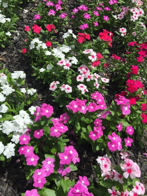 vinca flowers nature