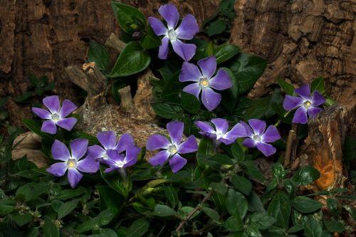vinca minor flowers spring
