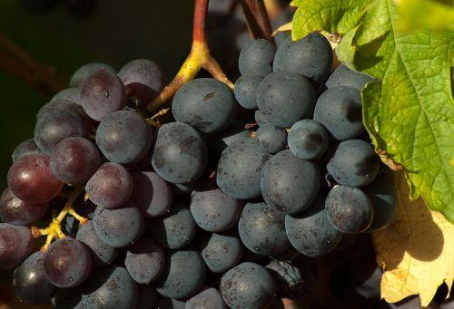 vine grape fall
