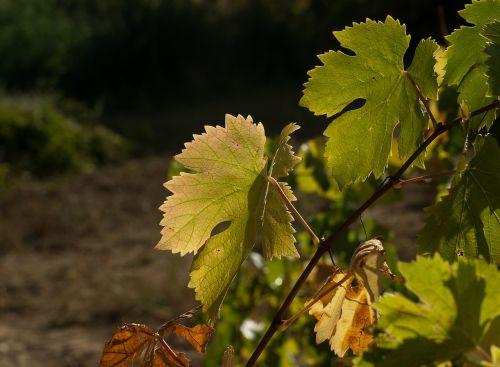 vine fall harvest