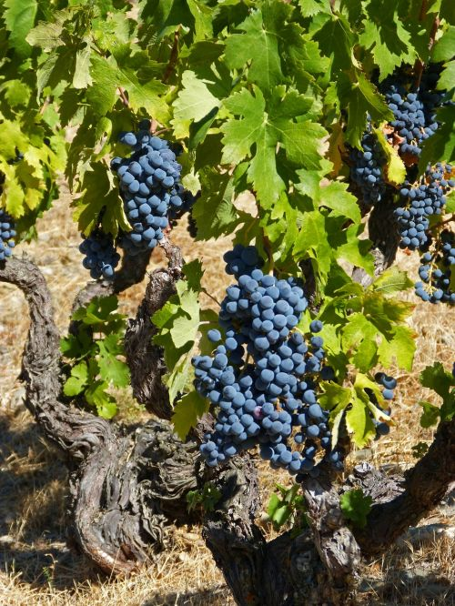 vine priorat old vineyard