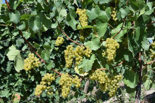 grapes grape mature
