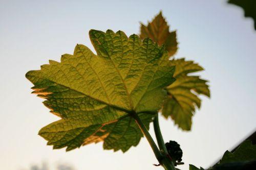 vine grape leaves