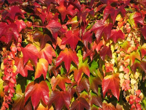 vine autumn color