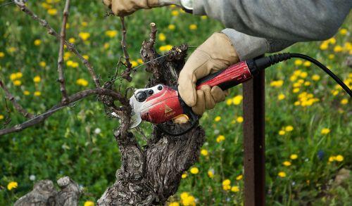 vine vineyard secateur