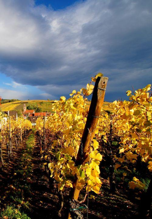 vine alsatian grape
