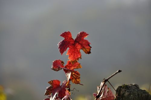 vine autumn emerge