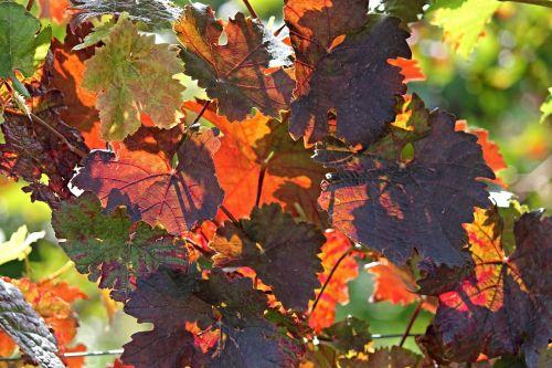 vine autumn colorful