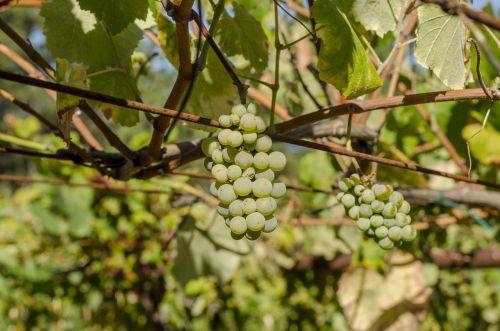 vine green grapes harvest