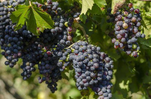 vine black grapes harvest