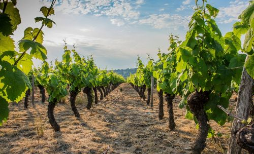 vine beaujolais vineyard