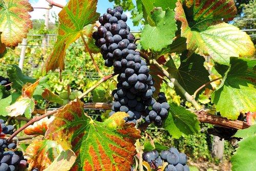 vine  wine  grapevine