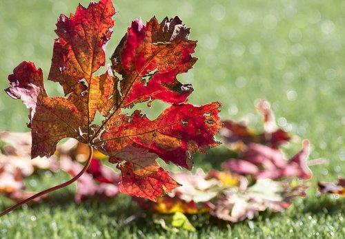 vine  leaves  fall