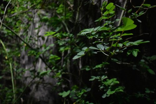 vine  wound  trees