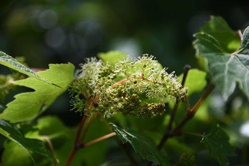 vine  grape  unripe