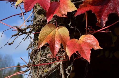 vine autumn october