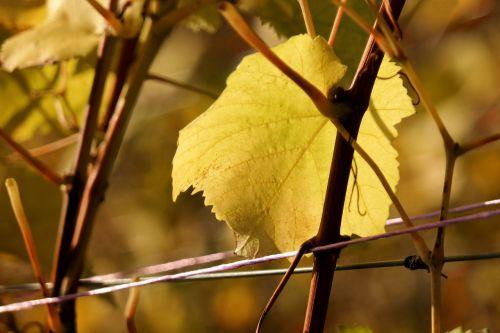 vine leaf autumn