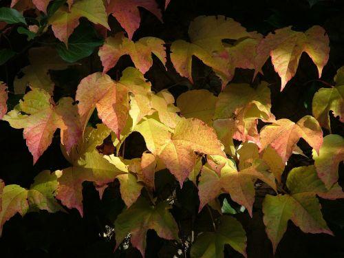 vine autumn fall leaves